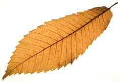 Decay of a chestnut leaf Royalty Free Stock Photos