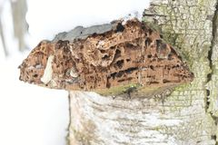 It is a decay fungus that serves as a small-scale disturbance agent in coastal rainforest ecosystems. Fomitopsis pinicola, is a stem decay fungus. Its conk fruit Stock Photos