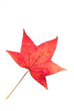 Decay of a leaf of liquidambar Stock Images