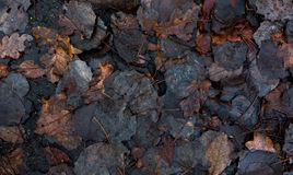 Decay leaves on dark wet asphalt. After rain as background Stock Images