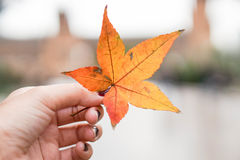 Decay maple leaf in hand. Decay maple leaf in human hand Royalty Free Stock Photos