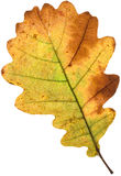 Decay of a oak leaf Stock Photography