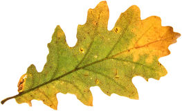 Decay of a oak leaf Royalty Free Stock Images