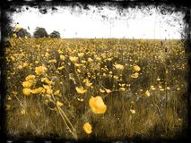 Decayed Buttercup Fields Royalty Free Stock Photos