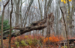 Decayed Fallen Tree Stock Image
