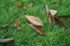 Decayed leaves on grass in the park. Decayed leaves on green grass in the park Royalty Free Stock Photo