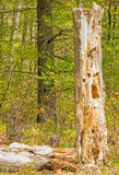 Decayed tree damaged by woodpeckers Stock Photography
