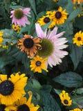 Decayendo el echinacea rosado y amarillo florece en un jardín Fotos de archivo