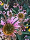 Decayendo el echinacea rosado y amarillo florece en un jardín Foto de archivo