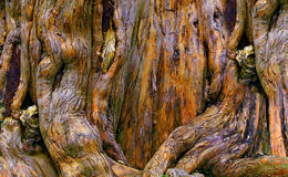 Decaying banyan tree roots. Close up of decaying banyan tree roots with details of textures and shapes Royalty Free Stock Photo