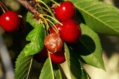 Decaying cherries mold Stock Photo