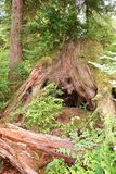 Nurse log stump in Olympic National Park supports new trees. The decaying and disintegrating base of a massive, gargantuan conifer is buried by new vibrant Stock Photography
