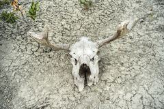 Decaying Elk skull. Close up of an elk skull decaying in the dessert sun stock images