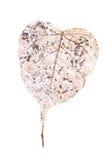 Heart shaped leaf. Decaying heart shape leaf isolated on white background Stock Photography