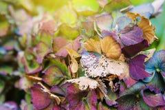 Decaying Hydrangea in Autumn Stock Photos