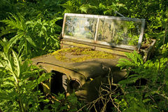 Decaying jeep partially covered in giant hogweed. Stock Photo