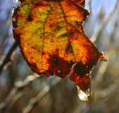 Decaying leaf. Autumn Leaf, Decaying leaf with raindrop Royalty Free Stock Photos