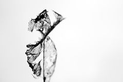 Decaying leaf silhouette. Stock Photography