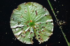 Decaying Lily Pad Royalty Free Stock Photos