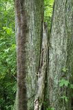 Fallen limb between two trees. A decaying limb stands upright between two trees in the forest while a fuzzy vine grows up one of the trees stock images