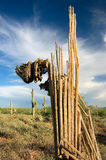 Decaying Saguaro Cactus. Beneath the green spined exterior, the interior of a giant desert saguaro cactus contains strong wood ribs used to support the Royalty Free Stock Photos