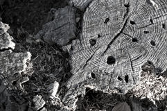 Decaying tree stump Royalty Free Stock Image