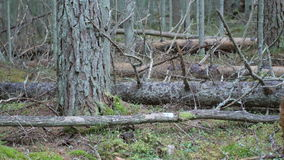 Decaying wind-fallen trees on a moss covered forest floor. Dolly shot of decaying wind-fallen trees on a moss covered forest floor stock video footage
