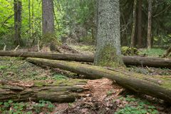 Decaying wood in natural untouched forest. In sweden royalty free stock images