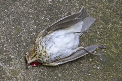Deceased Bird Lying on the Ground Stock Photo