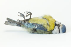 A deceased blue tit. A close-up of a deceased blue tit Stock Image