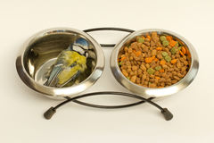 A deceased blue tit. In a cat's food bowl Stock Photography