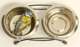 A deceased blue tit. In a cat's food bowl Royalty Free Stock Image