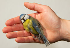 A deceased blue tit. Is being held in a woman's hand Royalty Free Stock Image
