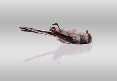 Deceased long-tailed tit stock photos
