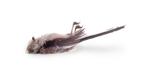Deceased long-tailed tit Royalty Free Stock Photography