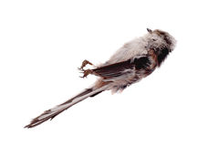 Deceased long-tailed tit Royalty Free Stock Image