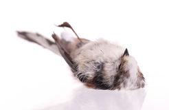 Deceased long-tailed tit Royalty Free Stock Images