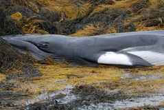 Deceased Minke Whale Royalty Free Stock Images