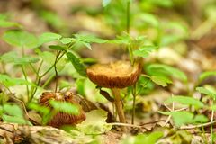 The Deceiver mushroom. Laccaria laccata on forest floor stock photography