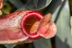 Pitcher plant with a deceitful heart. Pitcher plant with deceiving heart shaped leaf Royalty Free Stock Image
