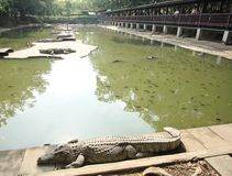 December 10, 2016 Crocodiles Resting at Crocodile Farm and Movement of Tourist Royalty Free Stock Image
