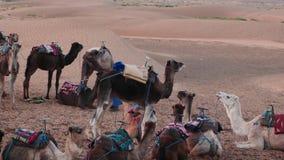 10 december de woestijn van de Sahara van 2015, Marokko Videoopeenvolging - Bedouins met kamelen in de woestijn van de Sahara in  stock video