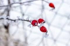 December dog rose branch covered with frost stock photo
