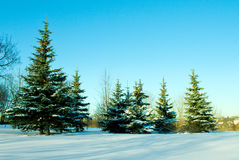 December fir trees with snow. December fir trees covered with snow on blue sky Royalty Free Stock Photography