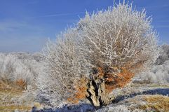 Frosted old tree with rusty leaves and blue sky Royalty Free Stock Photography