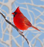 December Northern Cardinal. A gorgeous male Northern Cardinal (Cardinalis cardinalis) on a snow- covered branch with blue sky in the background Royalty Free Stock Photography