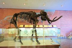 December 01, 2018 Russia, Moscow. Museum of Paleontology. Mammoth skeleton. Museum of Paleontology. Mammoth skeleton stock photography