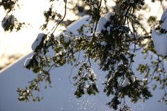 December thaw triggers snow shower in bright sunshine. Spruce bough offloads snow in the sunshine after first heavy snow Royalty Free Stock Images