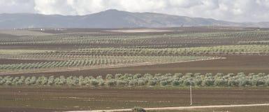 December 12, 2017, Volubilis, Marocko Linjer av Olive Groves Are Seen From platsen av Roman Ruins av Volubilis nära Meknes, Arkivfoto