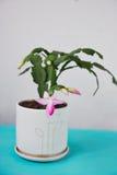 Decembrist的仙人掌,第一春天绽放 在轻的背景的桃红色开花的轻的罐 免版税库存照片